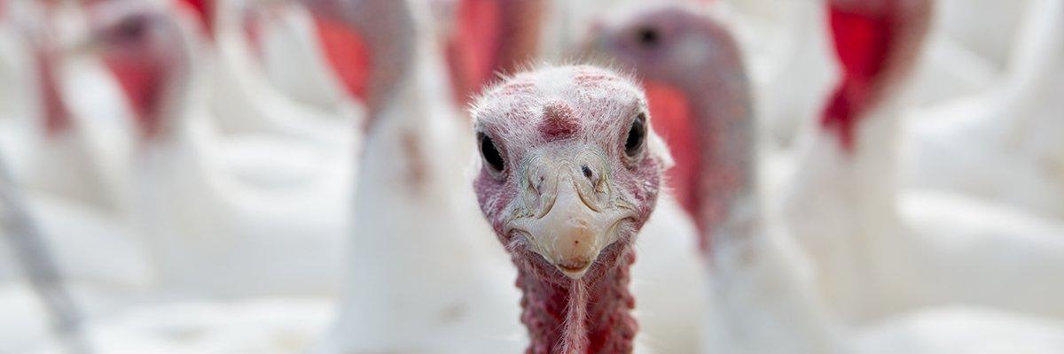 Making Friends on a Canadian Turkey Farm