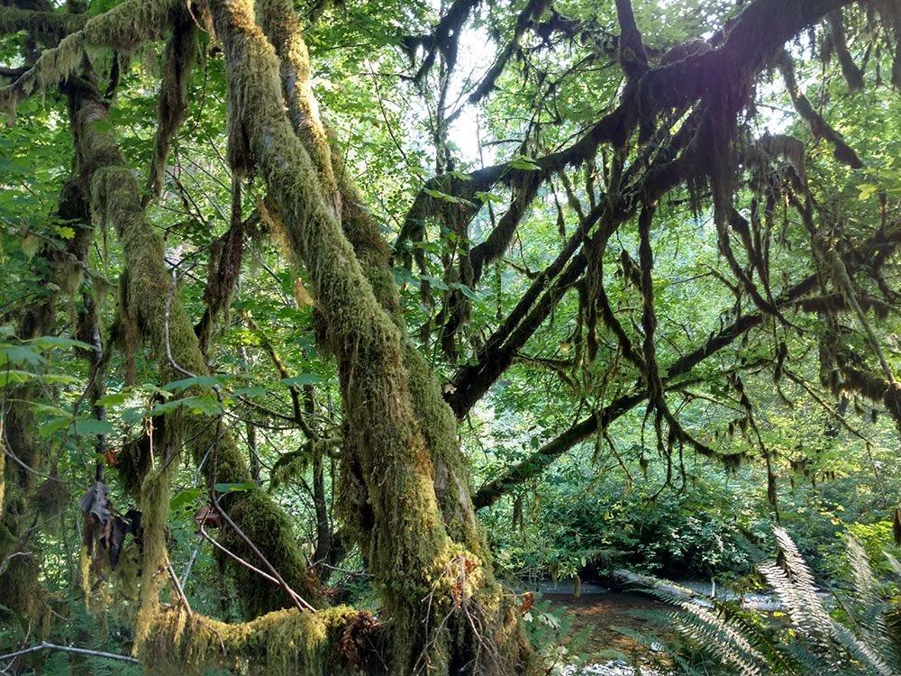 Quinalt Rain Forest